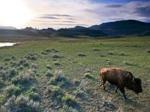 wyoming-buffalo-sunset_17639_600x450